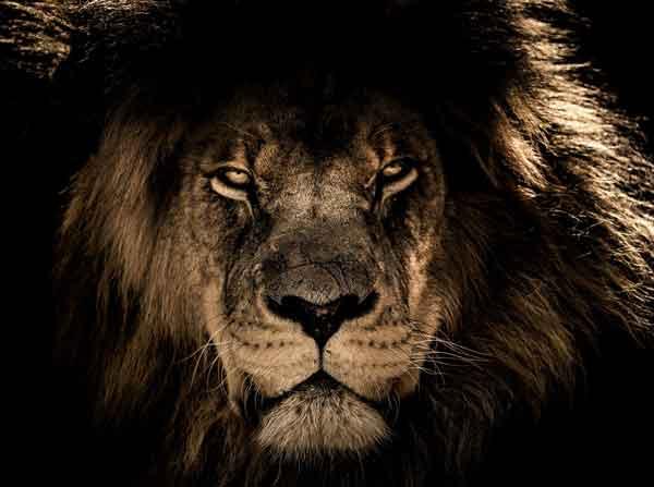 leone-africano-di-marco-ferrara